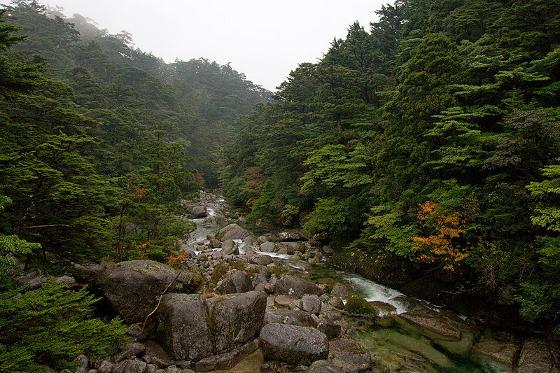 Cryptomeria japonica Tsuga sieboldii Yakushima - Wikimedia Commons